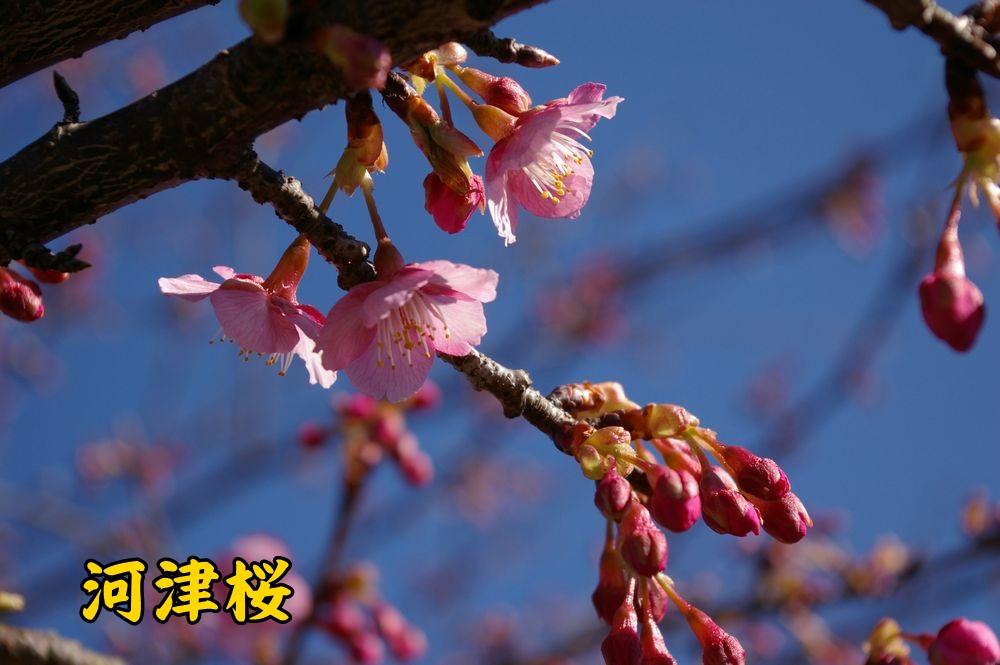 kawazu0224c1.jpg