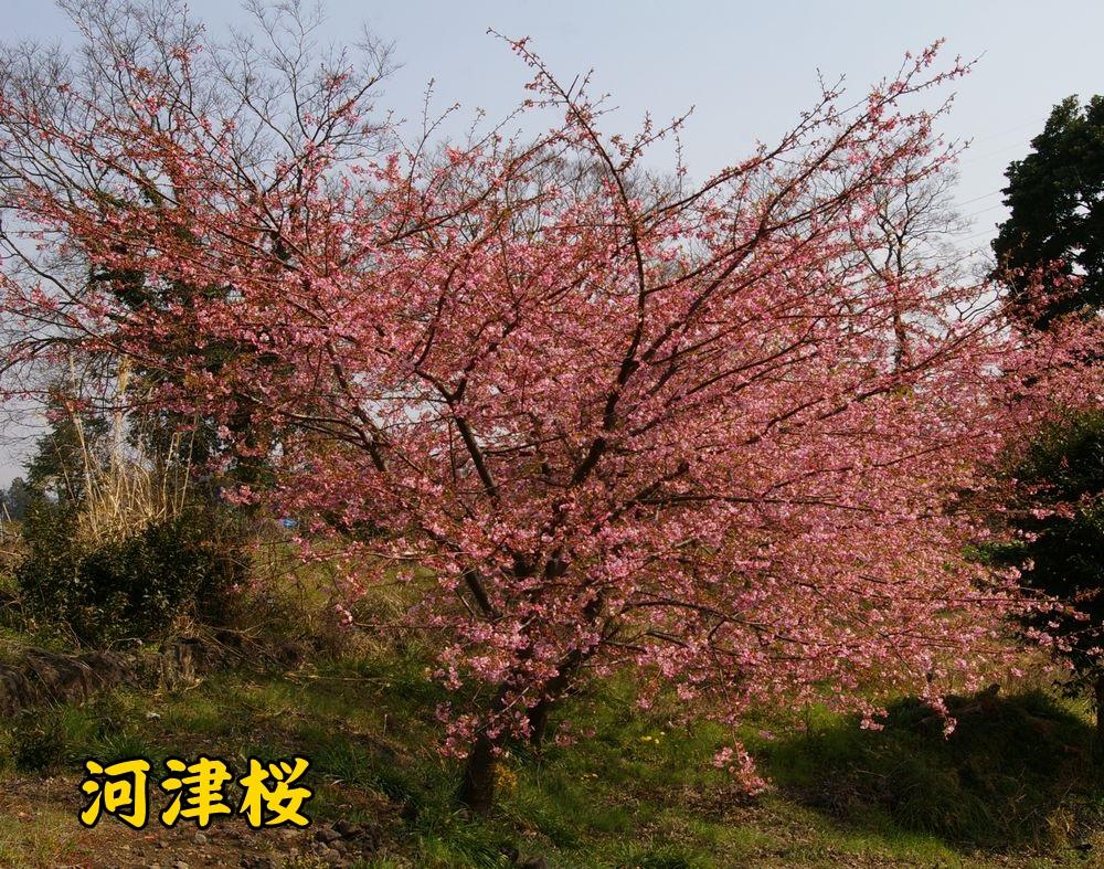 kawazu0308c1.jpg