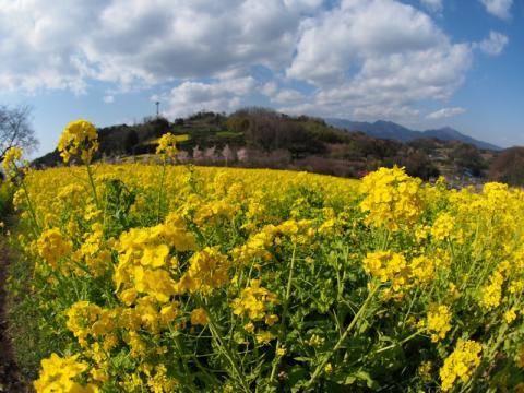 篠窪の菜の花