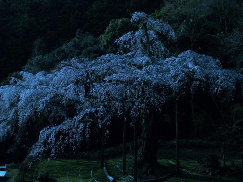 長興山紹太寺つきあかりのしだれ桜