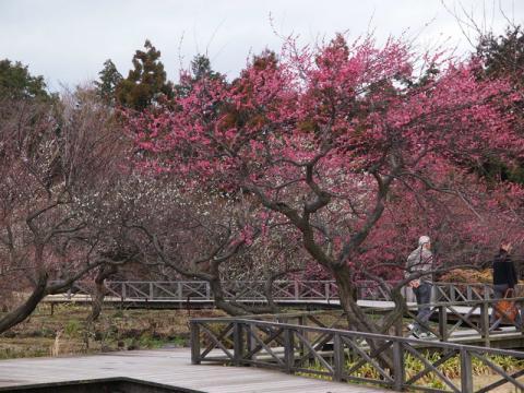 渓流の梅園