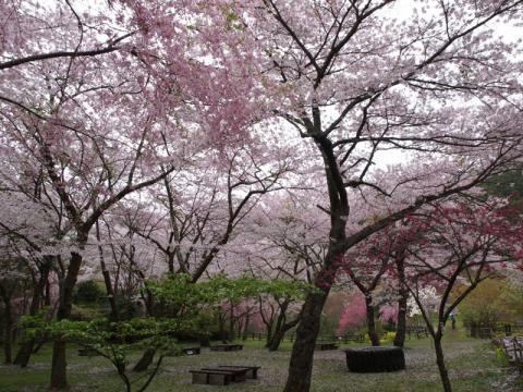 最明寺史跡公園の桜