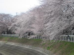 2011 桜 004