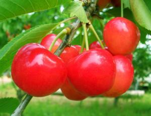 cherry001_convert_20110608220609.jpg