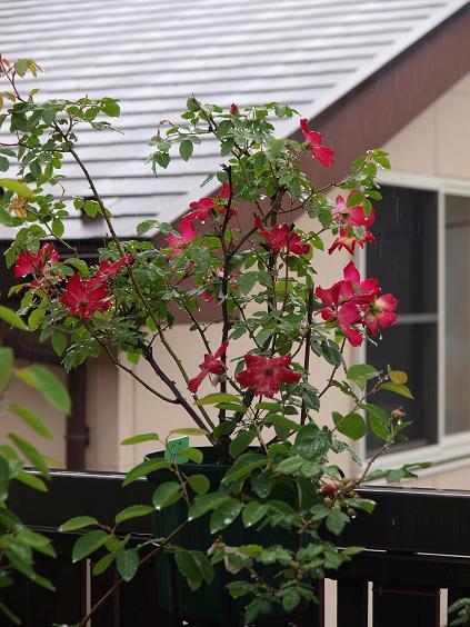005 赤いバラ