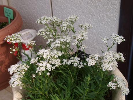 014 鉢植え白