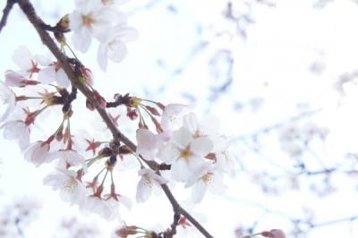 2012桜5