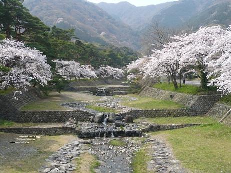 *河川敷が広くて川面に桜が映らない~*