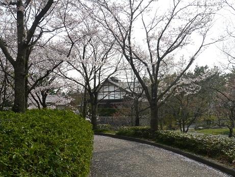 *桜舞う桜*