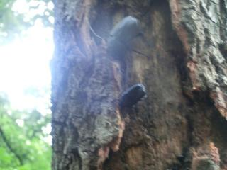 クヌギの木にカブトムシメス