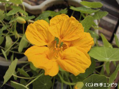 20091108 ナスタチウム開花