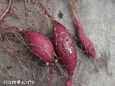 20091129 サツマイモ 収穫