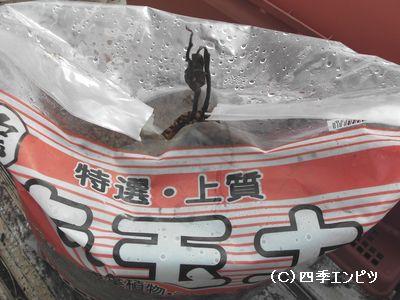 20091129 サツマイモ 赤玉土
