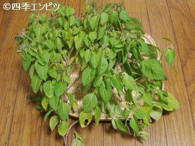 20101107 ホーリーバジル 収穫