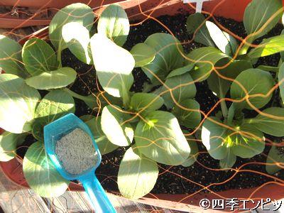 20101204 チンゲン菜 にぼし 追肥