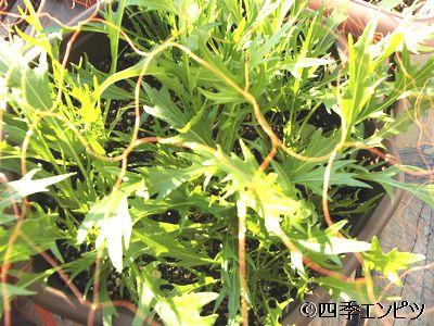 20101211 水菜