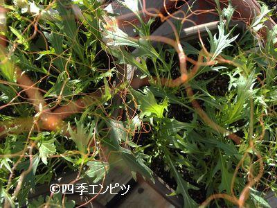 20101204 水菜