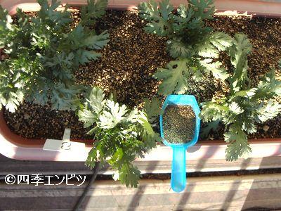 20101205 春菊 追肥