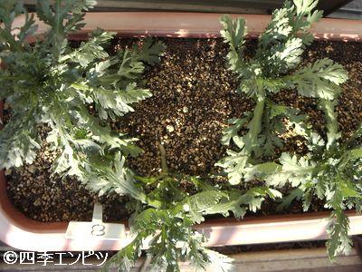 20101211 春菊 土が乾いている