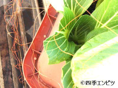 20101218 チンゲン菜 鳥害 やられた