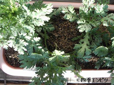20101219 春菊