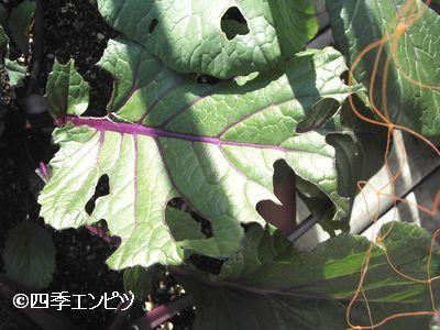 20101223 紅菜苔 虫食い