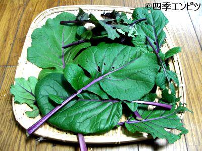 20101223 紅菜苔 虫食い葉 収穫