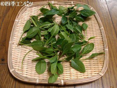 20110109 ほうれん草 間引き菜収穫