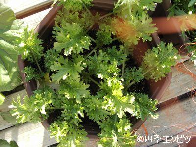 20101231 わさび菜