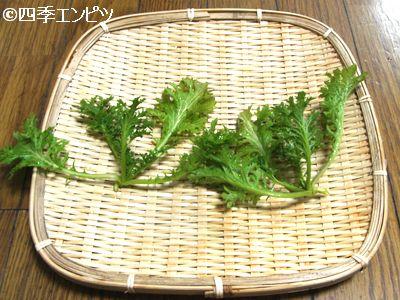 20110109 わさび菜 収穫