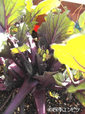 20110109 紅菜苔 つぼみ