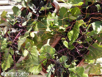 20110109 紅菜苔 全体