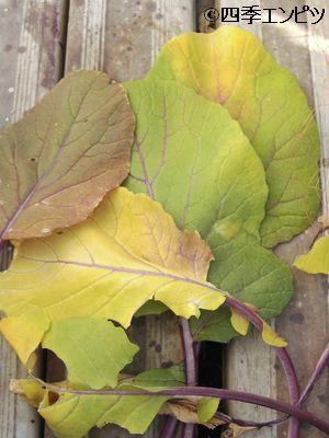 20110109 紅菜苔 枯れ葉取り