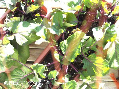 20101231 紅菜苔