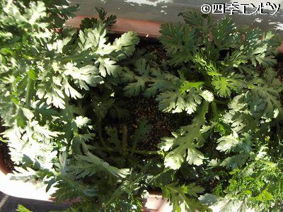 20101231 春菊