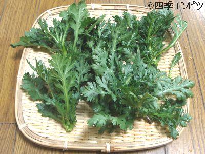20110109 春菊 収穫