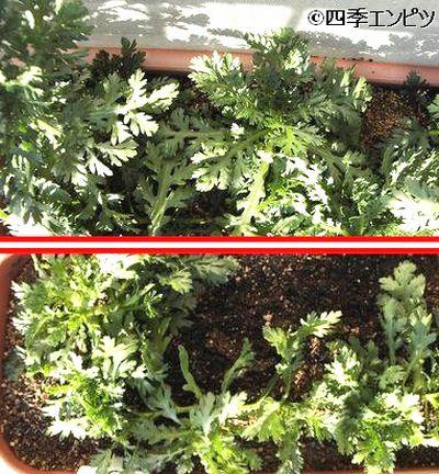 20110109 春菊 収穫前と収穫後