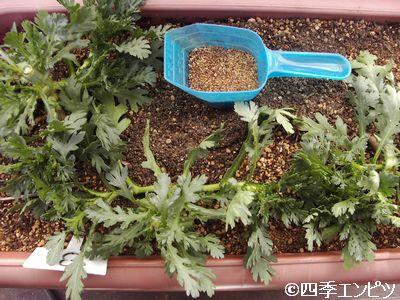 20110110 春菊 追肥