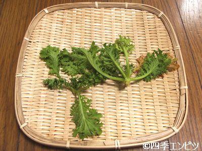 20110123 わさび菜 収穫