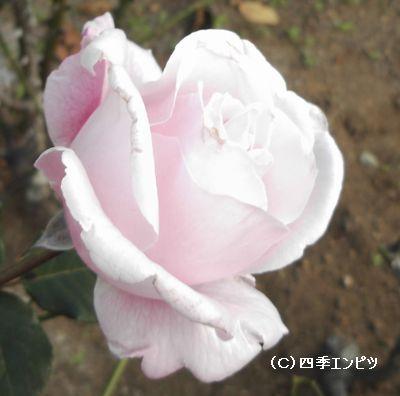 横浜 港の見える丘公園のバラ