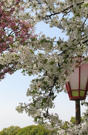 045兼天国冬桜-1