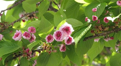 053兼六園菊桜-1