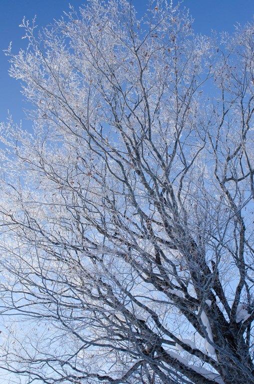 20110127-霧氷3