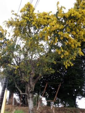 渋沢丘陵のミモザ100227