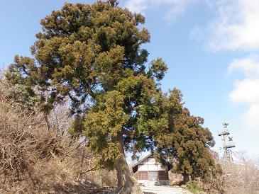 100322大山山頂の杉