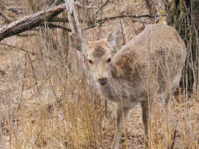 110410大山の鹿