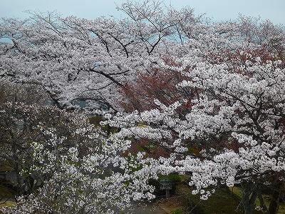 山頂には100種の桜が1万本植えられています