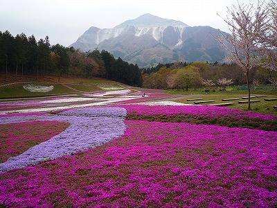 羊山公園の芝桜の丘とその向こうには秩父の盟主武甲山