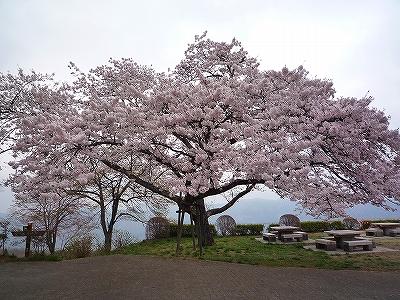 大きな桜の木の下で「お花見」です