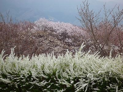 ユキヤナギもきれいに咲いていました